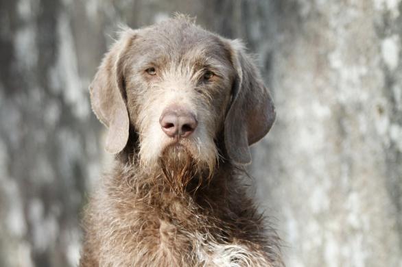 Slowakischer Rauhaariger Vorstehhund, Slowakischer Rauhbart