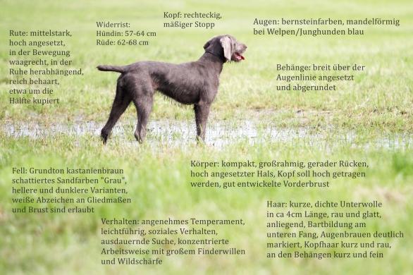 Slowakischer Rauhaariger Vorstehhund, Slowakischer Rauhbart, SHS